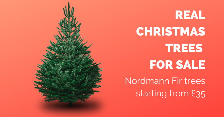 Nordmann Fir Christmas trees for sale - starting at £35